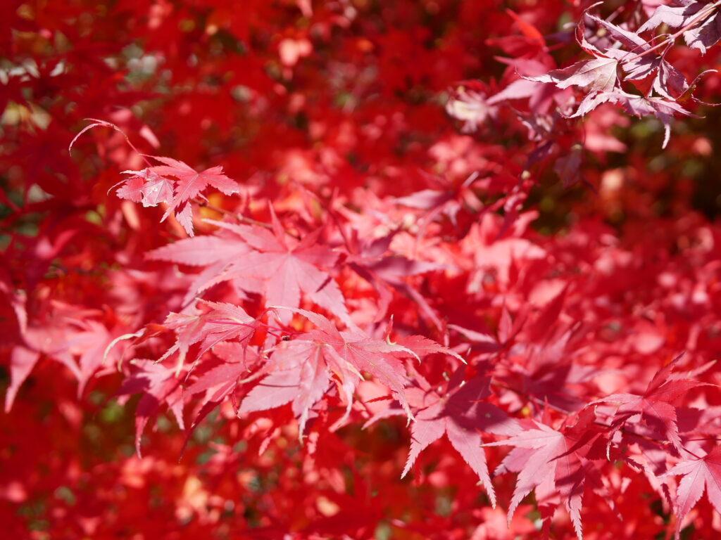 また今年もまっている真っ赤な紅葉