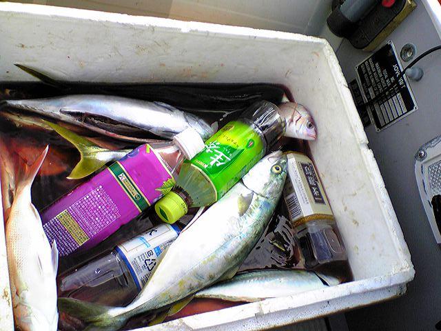 釣った魚をさばいてお刺身で頂きます。